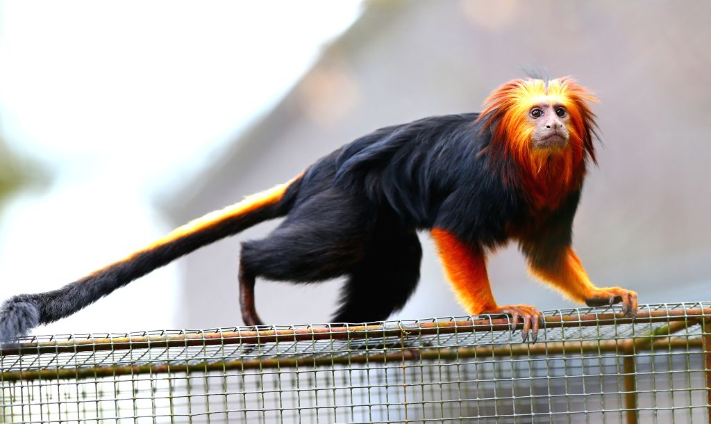BRUSSELS, April 21, 2016 - Photo taken on April 3, 2016 show a golden-headed lion tamarin at the Planckendael Zoo in Mechelen, north Belgium. Golden-headed lion tamarins, native to Brazil, go ...