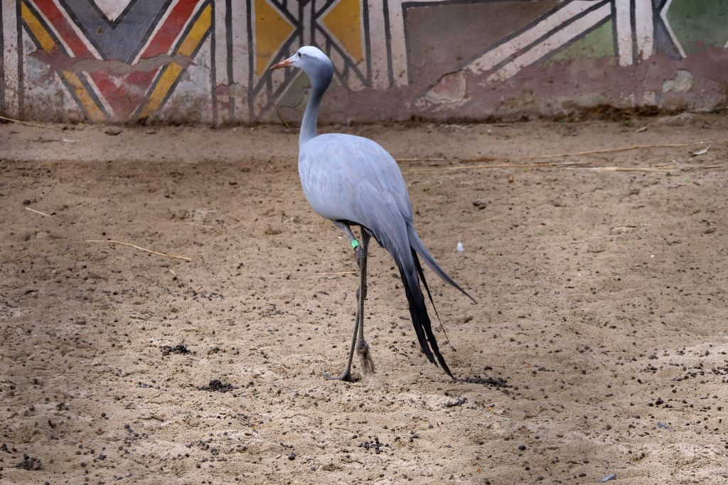 BRUSSELS, Aug. 10, 2019 - A blue crane is seen at Pairi Daiza zoo in Brugelette, Belgium, on Aug. 9, 2019. Pairi Daiza is a large animal theme park in Brugelette in west Belgium's Hainaut province.