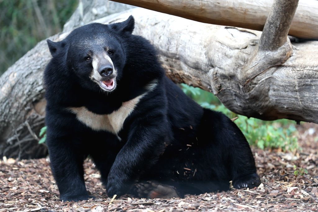 BRUSSELS, Aug. 10, 2019 - An Asian black bear is seen at Pairi Daiza zoo in Brugelette, Belgium, on Aug. 9, 2019. Pairi Daiza is a large animal theme park in Brugelette in west Belgium's Hainaut ...