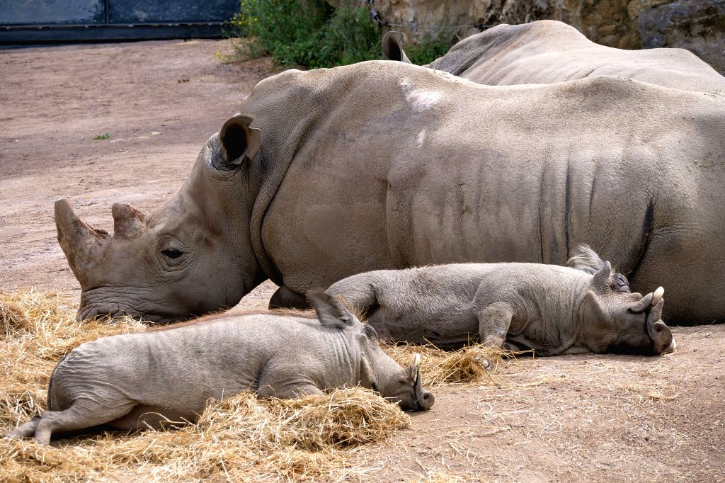 BRUSSELS, Aug. 10, 2019 - White rhinoceroses are seen at Pairi Daiza zoo in Brugelette, Belgium, on Aug. 9, 2019. Pairi Daiza is a large animal theme park in Brugelette in west Belgium's Hainaut ...