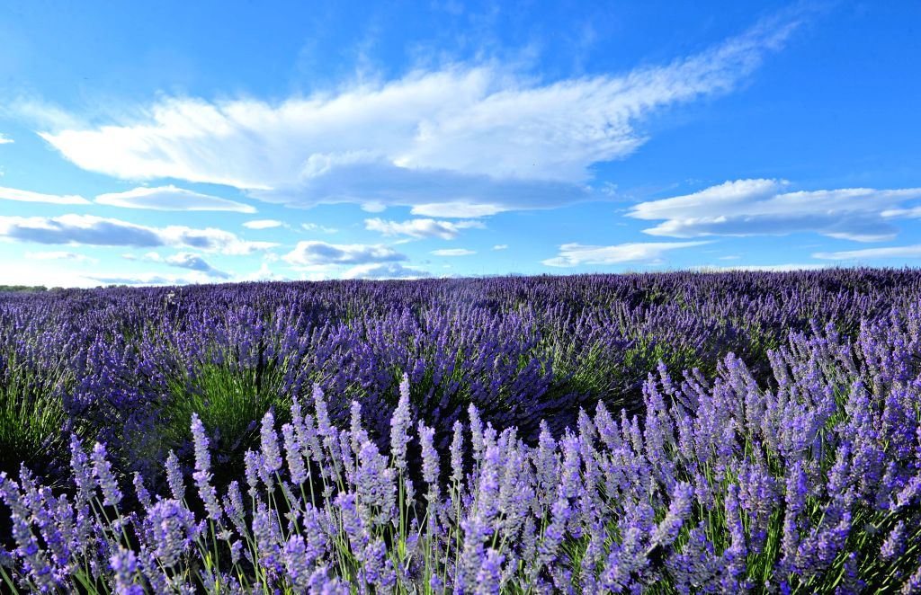 Photo taken on July 10, 2014 shows lavender field at Valensole of Provence, south of France.