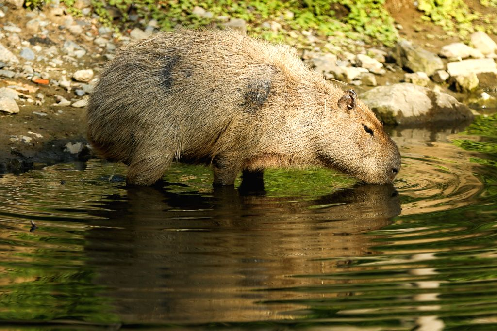 BRUSSELS, Sept. 9, 2019 - A capybara drinks at the Pairi Daiza zoo in Brugelette, Belgium, Sept. 8, 2019. Located in Brugelette of Belgium, the Pairi Daiza zoo is home to thousands of animals from ...