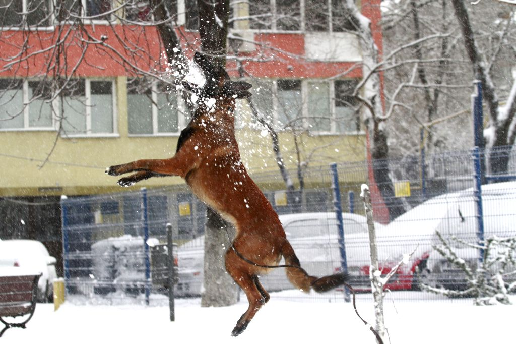 A dog frolics in snow in Bucharest, capital of Romania, Dec. 29, 2014. Romania's National Meteorology Administration on Monday issued a Code Red warning of ...