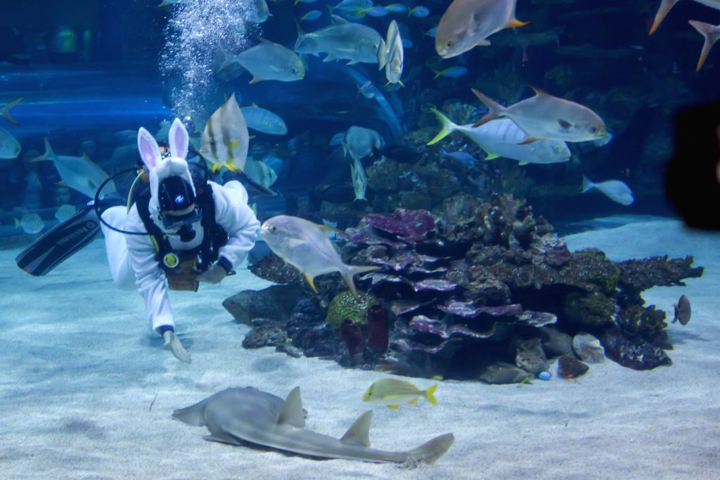A scuba diver dressing up as an Easter rabbit searches for Easter eggs hidden in a shark pool at Tropicarium in Budapest, capital of Hungary, on April 20, 2014. ..