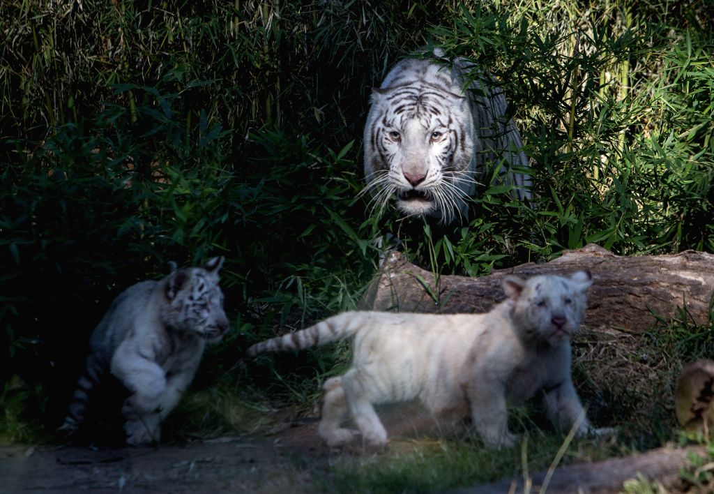 Two Bengal tiger cubs play with their mother Cleo in the Zoo of Buenos Aires, in Buenos Aires, capital of Argentina,  on April 16, 2014. Three Bengal tiger ...