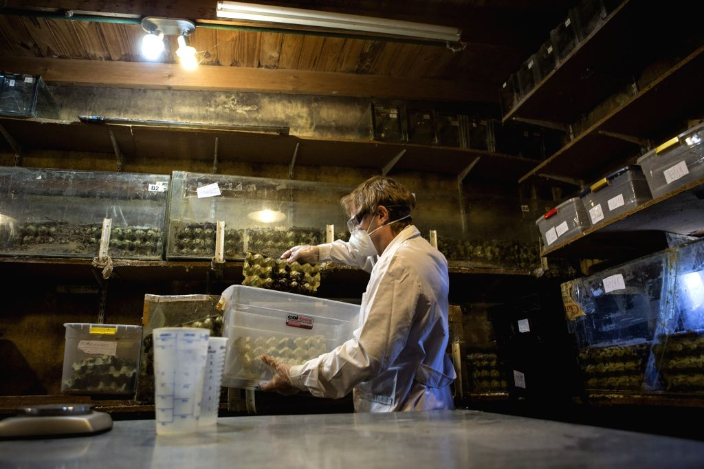Buenos Aires (Argentina): Biologist Daniel Caporaletti works in his insect hatchery of biologist Daniel Caporaletti, in Buenos Aires city, capital of Argentina, on Nov. 28, 2014. The hatchery works ..
