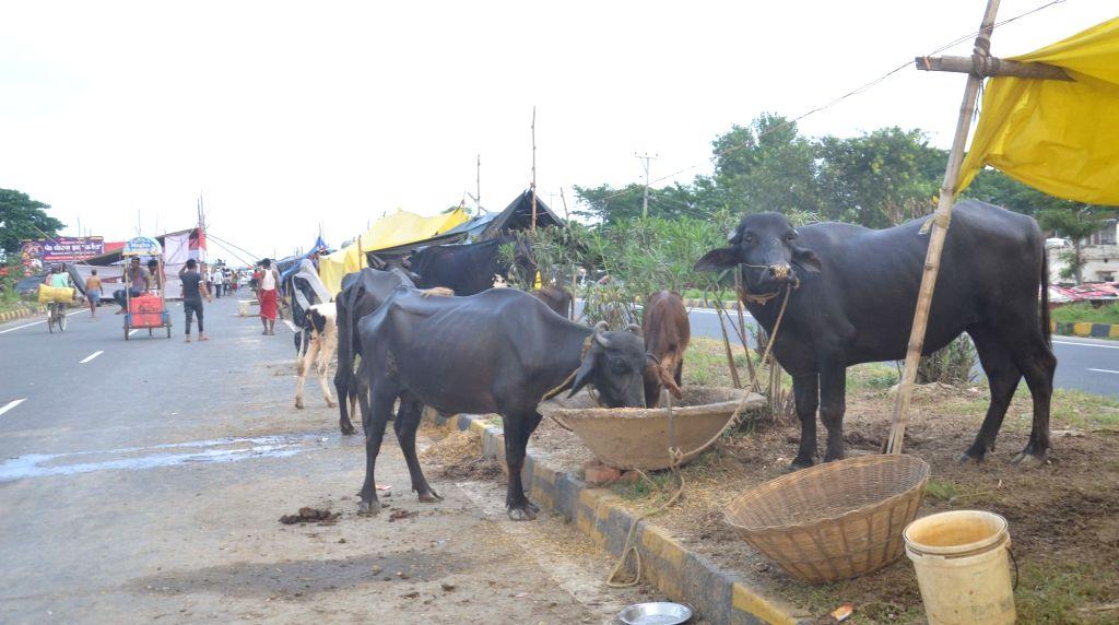 Buffaloes eating fodder in Bihar's flood-hit Muzaffarpur on Aug 2, 2020.