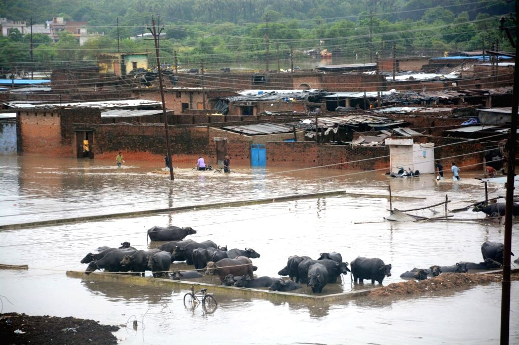 Buffaloes wander around on a water-logged street at the Cattle Colony after heavy rains lashed Lucknow on July 30, 2018. Heavy rains disrupted normal life in various parts of Uttar Pradesh, ...