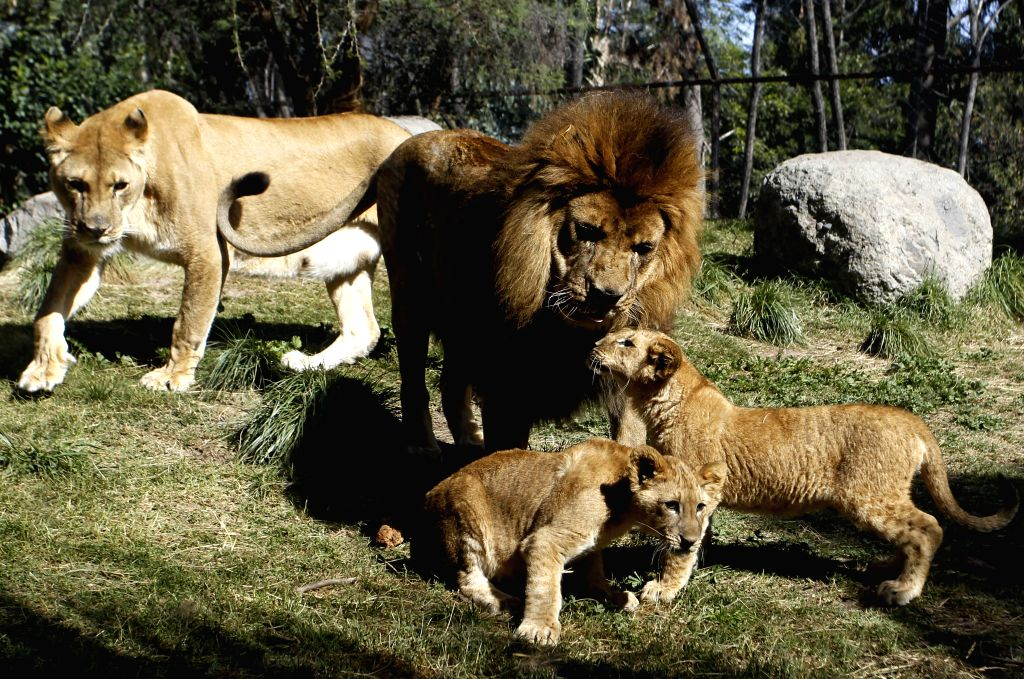 """BUIN, May 5, 2017 - """"Maucho"""" (Back), a male lion that has taken an operation to revert a vasectomy, plays with his cubs at Buin Zoo, Chile, on May 4, 2017. According to the local press, the ..."""
