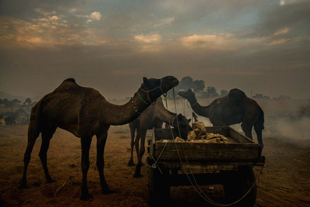 Camel fair 2019 begins in Pushkar, Rajasthan on Oct 29, 2019.