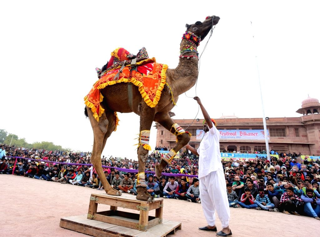 Camel show underway during the International Camel Festival in Bikaner, on Jan 15, 2017.