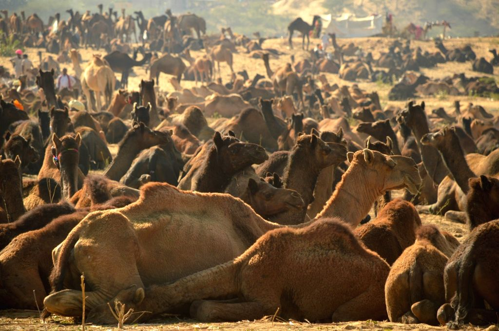 Camels at Pushkar animal fair on Nov 17, 2015.