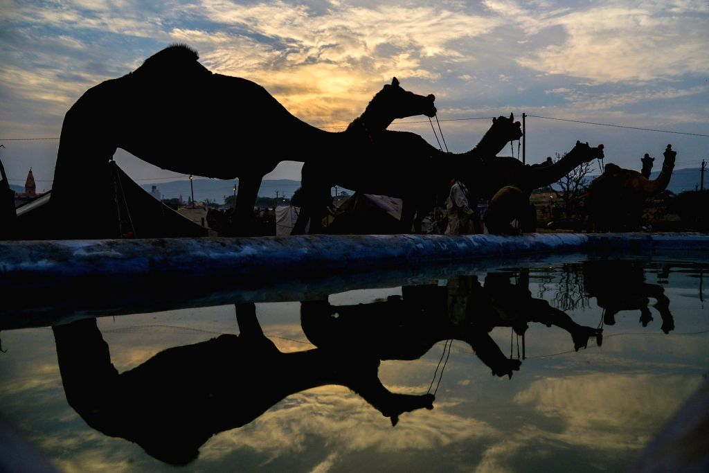 Camels stand next to a pond with their reflections clearly seen in the serene waters of the water body, during Camel Fair 2019 in Rajasthan's Pushkar on Oct 30, 2019.