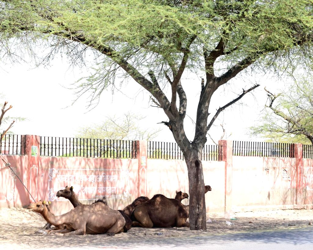 Camels take refuge from the scorching sun under the shade of a tree on a hot summer day, in Bikaner on June 7, 2019.