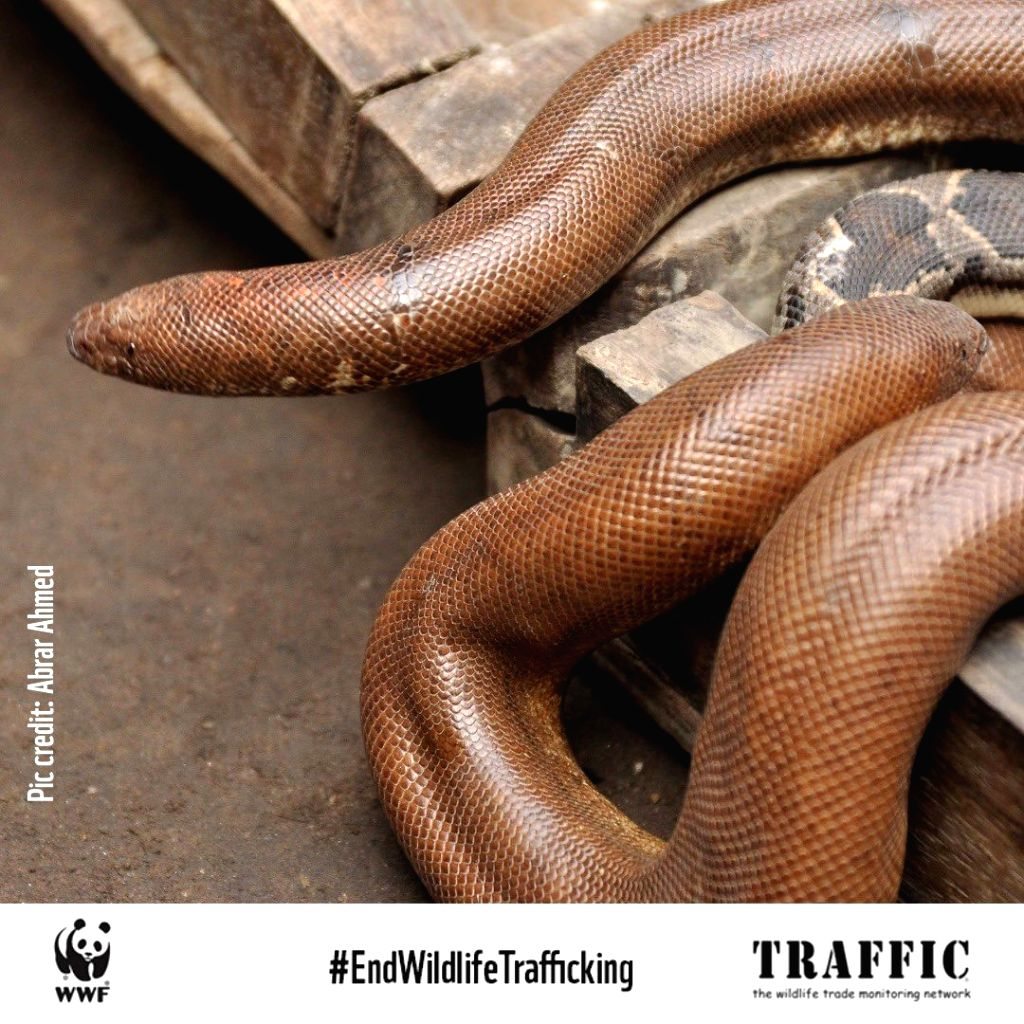 Campaign to protect the rare Red Sand Boa