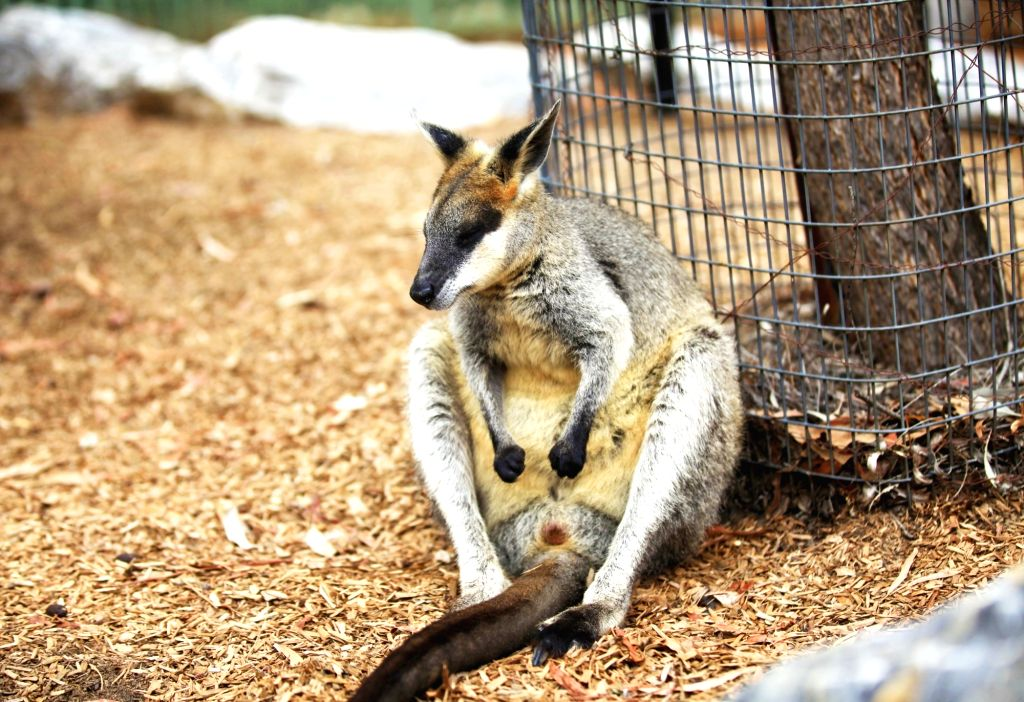 CANBERRA, Jan. 9, 2019 - Photo taken on Jan. 7, 2019 shows a kangaroo taking a break at the National Zoo & Aquarium in Canberra, capital of Australia. As heat wave sweeps Canberra, the Australian ...