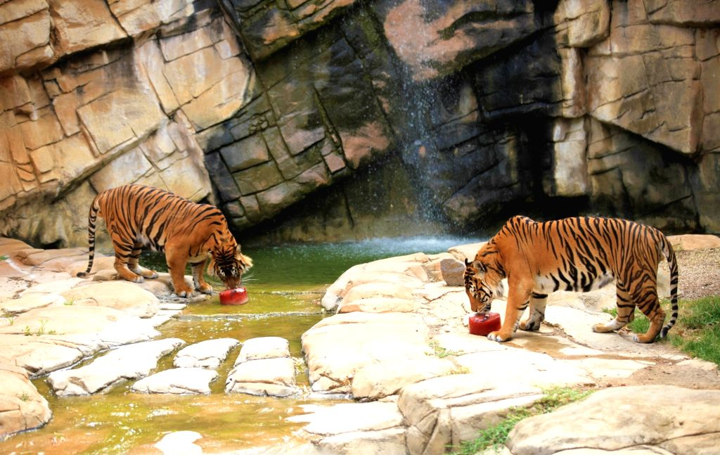 """CANBERRA, Jan. 9, 2019 - Photo taken on Jan. 7, 2019 shows tigers enjoying """"ice cream"""" made of meat and blood at the National Zoo & Aquarium in Canberra, capital of Australia. As heat ..."""