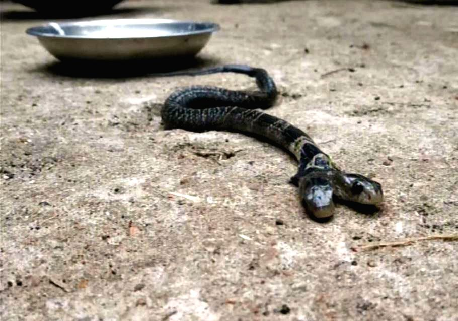 Caption: A rare two-headed snake was found in a village under Belda forest range in West Bengal's West Midnapore district, a forest official said on Thursday. Inhabitants of Ekarukhi village found the snake, but did not hand it over to the forest off