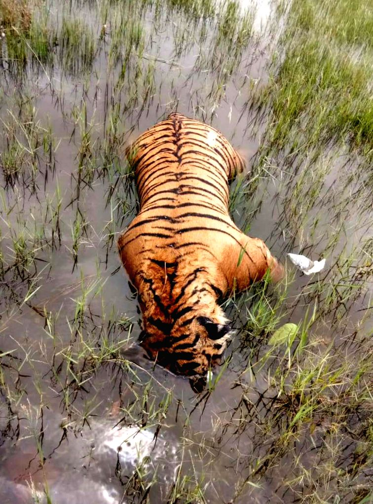 Carcass of a tiger that was found floating in the backwaters of Kabini Dam in Belathur village of Mysuru on July 31, 2018.