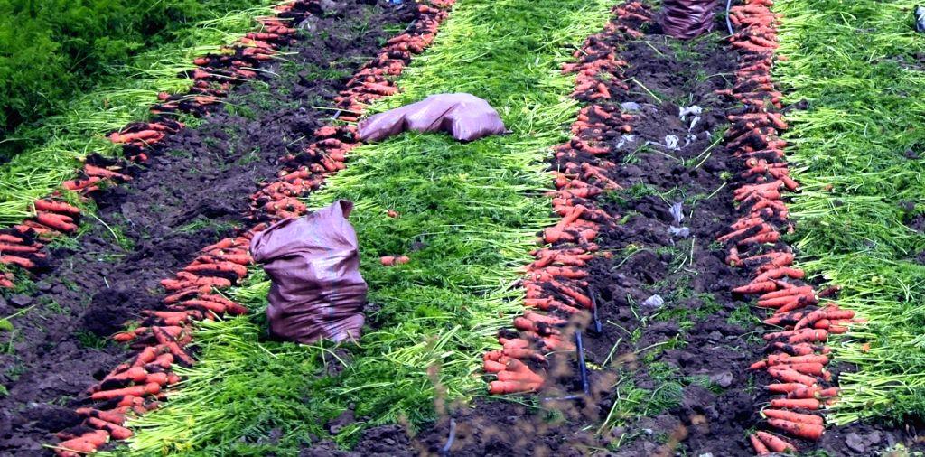 :Carrot. (File Photo: IANS).