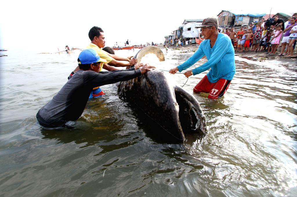 CAVITE PROVINCE, Sept. 5, 2013 (Xinhua/IANS) -- Fishermen try to bring the corpse of a whale shark to the shore in Tanza Town, Cavite Province, Philippines, Sept. 5, 2013. The fishermen reported to local authorities that they had found the giant fish
