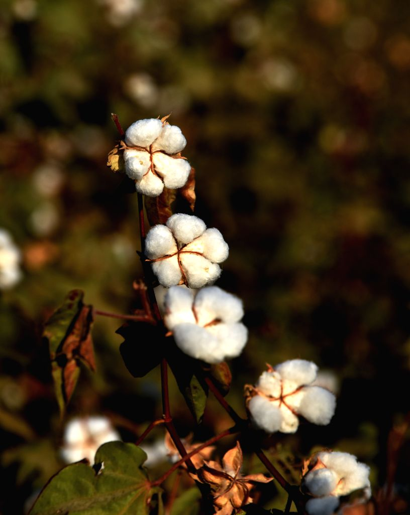Chandigarh, April 19 (IANS) Punjab's Agriculture Department will provide adequate inputs and BT cotton seeds to enhance the area under cotton cultivation from 9.7 lakh acres to 12.5 lakh acres this year, according to an official here on Sunday.