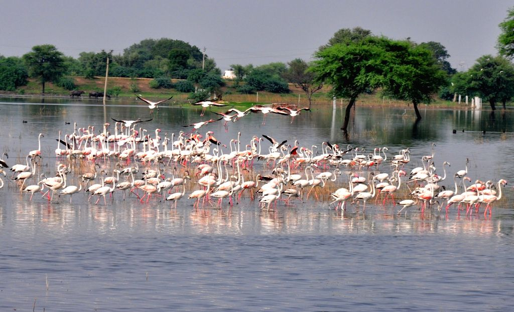 Chandlai Lake: Greater Flamingos seen at Chandlai Lake in Rajasthan on July 22, 2016. Flamingos travel thousands of miles every year to come to the lakes and wetlands in Rajasthan.