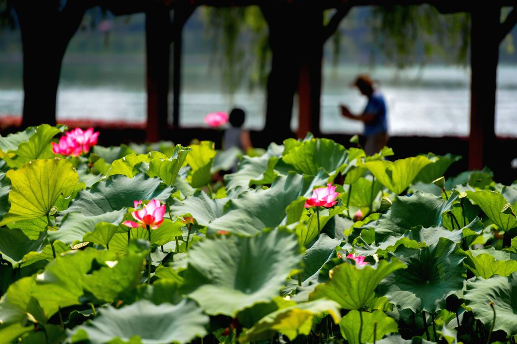 CHANGSHA, July 17, 2019 - Photo taken on July 17, 2019 shows lotus flowers in Nianjia Lake at a park in Changsha, central China's Hunan Province.