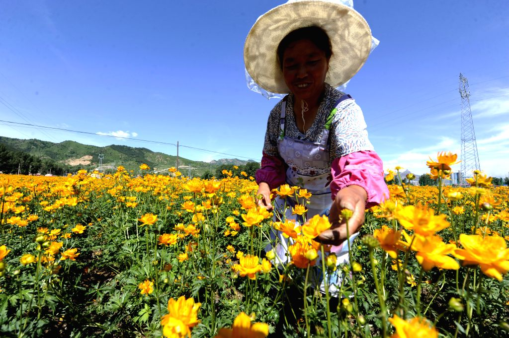 CHENGDE, June 22, 2017 - A farmer picks globeflowers at a planting base in Weichang County, north China's Hebei Province, June 21, 2017. Globeflowers, or Trollius chinensis, are not only popular in ...