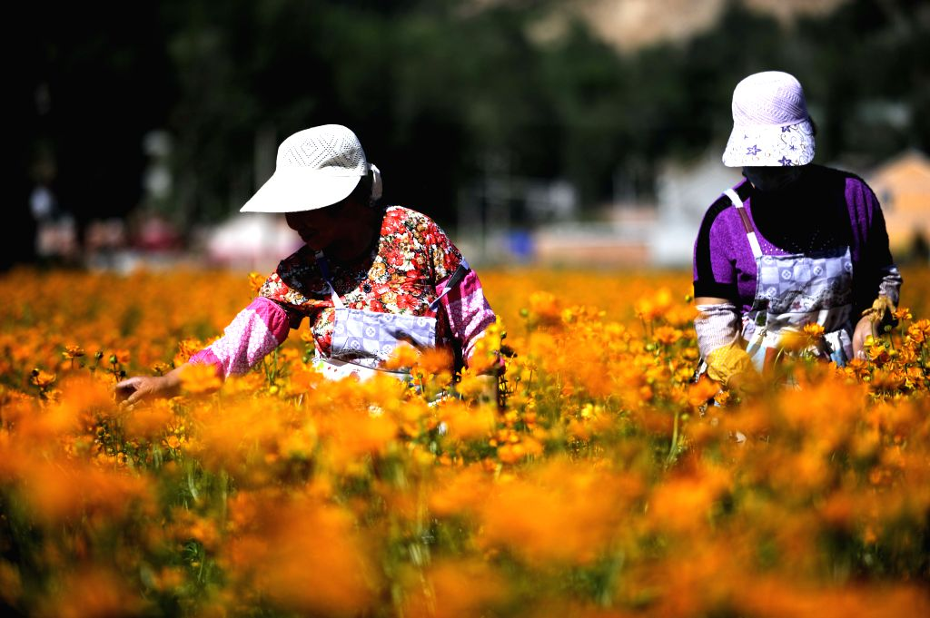 CHENGDE, June 22, 2017 - Farmers pick globeflowers at a planting base in Weichang County, north China's Hebei Province, June 21, 2017. Globeflowers, or Trollius chinensis, are not only popular in ...