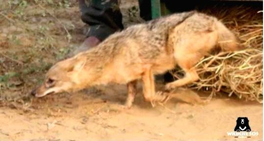 Chennai, June 9 (IANS) Tamil Nadu Forest Department has arrested 12 gypsies for killing a jackal in a Trichy village by packing explosives in meat and blowing up its mouth when it took a bite, said an official.