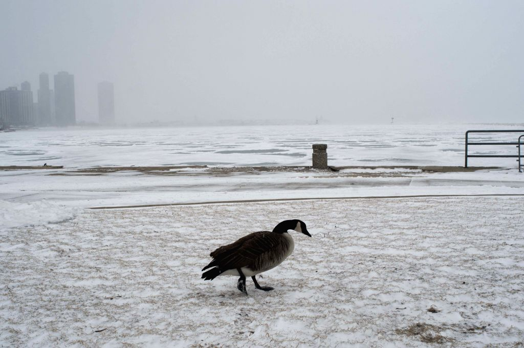 A Canadian goose walks on the Michigan lake in Chicago, the United States, Feb. 26, 2015. Chicago's average temperature of this month may break the record set in ...