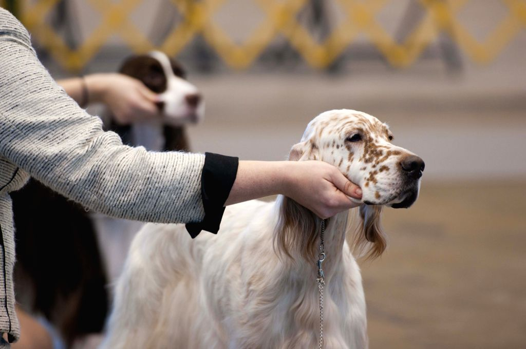 Owner comfort their dogs before the competition during the international dog show in Chicago, the United States, on Jan. 30, 2015. The 2015 International Dog Show ..