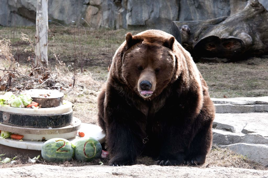 One of a pair of grizzly bears enjoys himself with food on his 20-year-old birthday party at the Brookfield Zoo, west suburb of Chicago, the United States, on ...