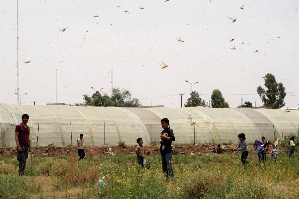 Children catch locusts in a field in Sanaa, Yemen, June 24, 2020. Hundreds of billions of desert locusts were seen swarming through the Yemeni Houthi-held capital ...