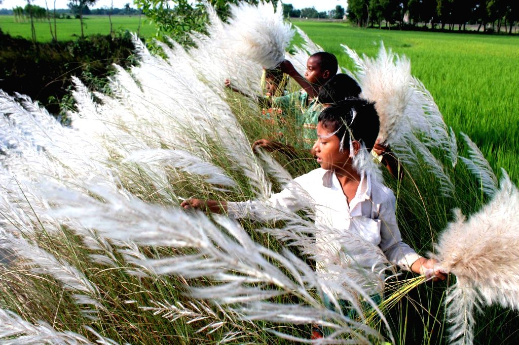 "Children collect Kans grass, also known as ""Kash phool"" near Balurghat in South Dinajpur district on Sept 16, 2016."