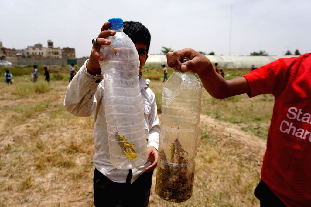 Children show locusts in bottles in a field in Sanaa, Yemen, June 24, 2020. Hundreds of billions of desert locusts were seen swarming through the Yemeni Houthi-held ...