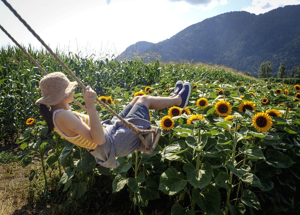 CHILLIWACK, Aug. 3, 2019 - A visitor plays on a swing in the sunflower field during the second annual Sunflower Festival in Chilliwack, Canada, Aug. 2, 2019. Thousands of visitors stroll through the ...