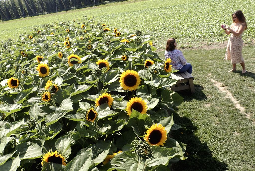 CHILLIWACK, Aug. 3, 2019 - People take photos in the sunflower field during the second annual Sunflower Festival in Chilliwack, Canada, Aug. 2, 2019. Thousands of visitors stroll through the six ...