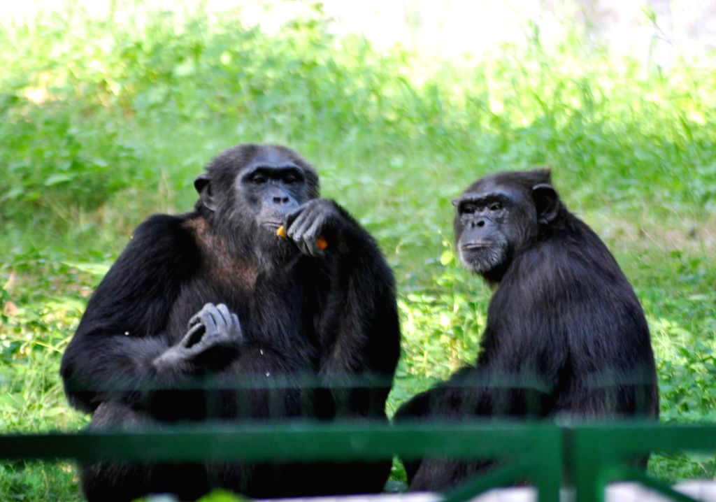 Chimpanzees enjoy themselves in their enclosure of Lucknow zoo on Sept 9, 2014.