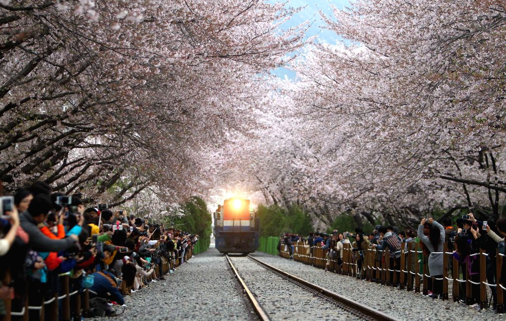 A train moves under cherry blossom trees during Chinhae Cherry Blossom Festival in Chang Won, southern city of South Korea, on April 7, 2015. The Chinhae Cherry ...
