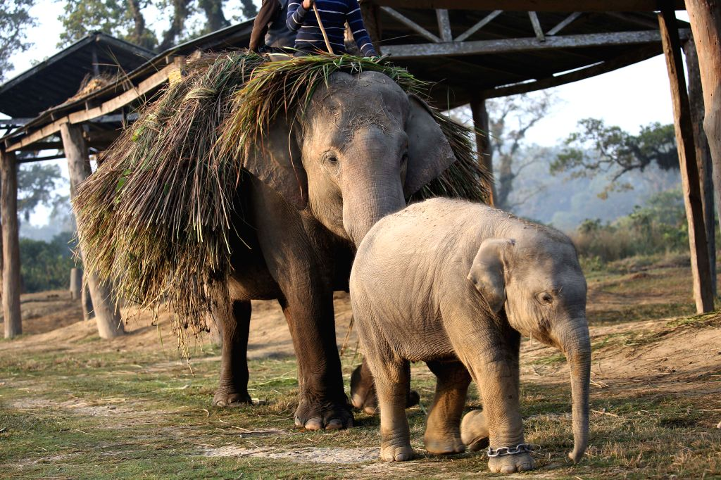 CHITWAN, Dec. 29, 2019 - A baby elephant returns with its mother after collecting grasses from jungle at an elephant breeding center in Sauraha, a tourism hub in southwest Nepal's Chitwan district, ...