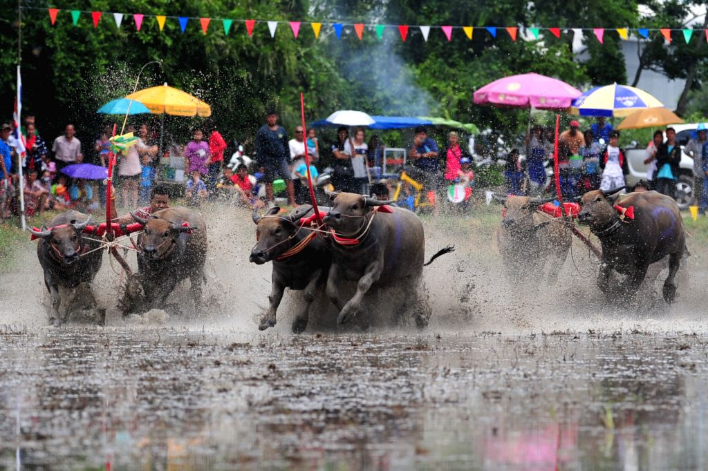 CHONBURI, July 31, 2016 - Thai buffalo racers compete during an annual buffalo racing in Chonburi Province, Thailand, July 31, 2016.
