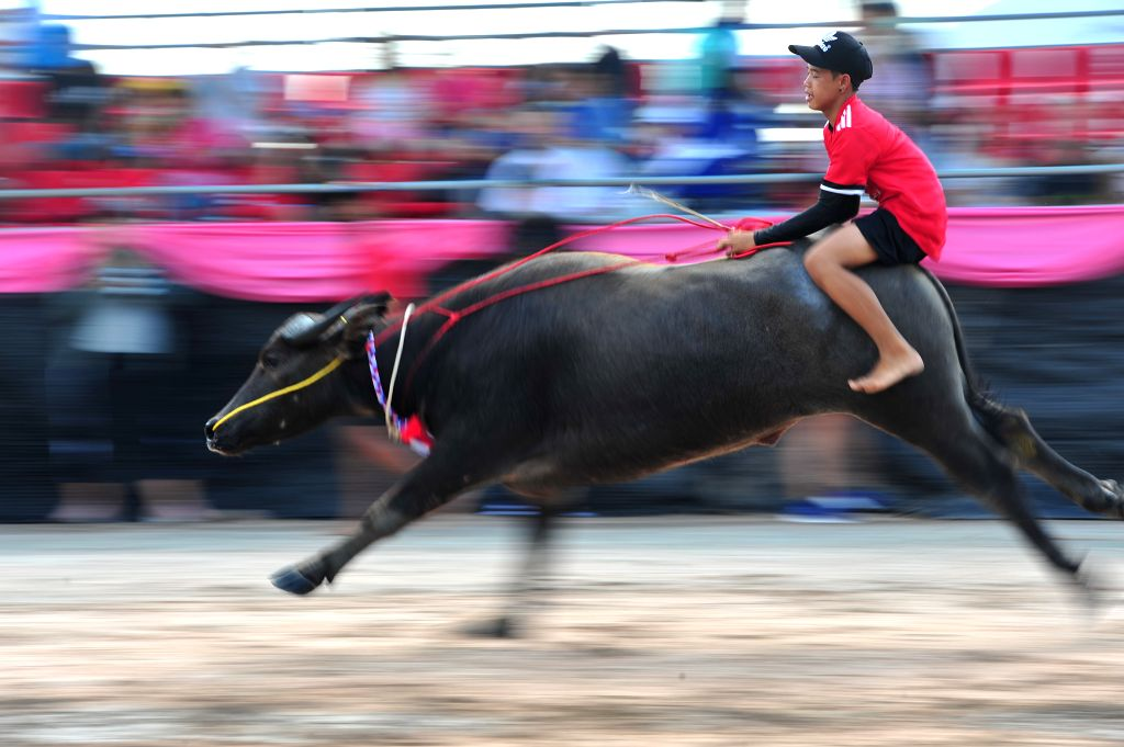 CHONBURI, Oct. 24, 2018 - A racer competes during the buffalo racing in Chonburi, Thailand, Oct. 23, 2018. Hundreds of buffaloes took part in the centuries-old buffalo racing festival held annually ...