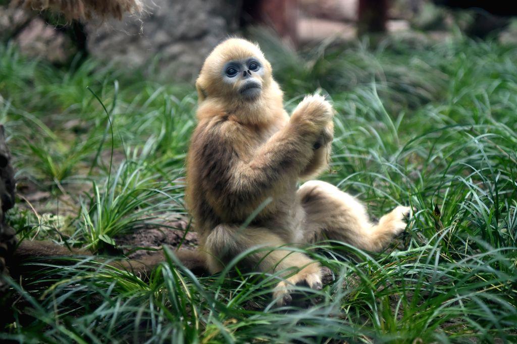 "CHONGQING, Jan. 26, 2019 - Golden snub-nosed monkey ""Ding Ding"" plays at the Chongqing Zoo in Chongqing, southwest China, Jan. 26, 2019. Three golden snub-nosed monkeys met the public at ..."