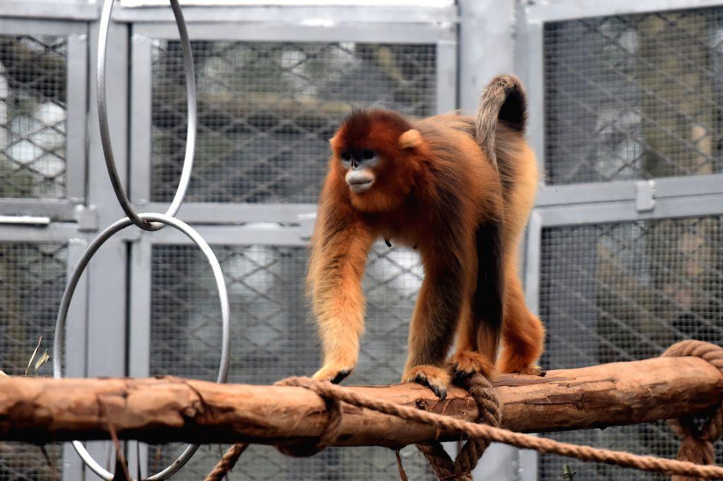 """CHONGQING, Jan. 26, 2019 - Golden snub-nosed monkey """"Yu Yu"""" is seen at the Chongqing Zoo in Chongqing, southwest China, Jan. 26, 2019. Three golden snub-nosed monkeys met the public at the ..."""