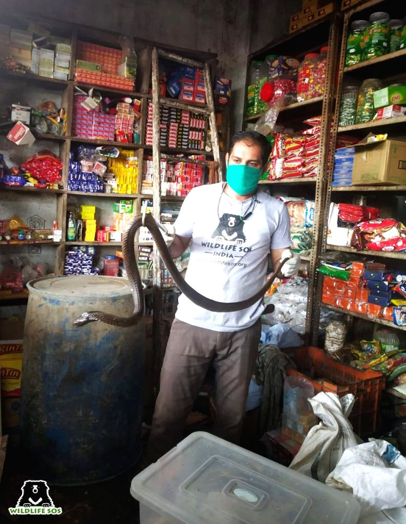 Cobra visits grocery store in agra, rescued.
