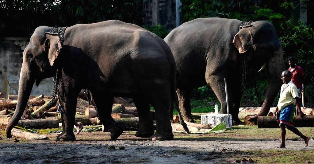 COLOMBO, Feb. 18, 2019 - Elephants take a rest in Colombo, Sri Lanka, on Feb. 18, 2019. Dozens of elephants gathered here to take part in the annual Buddhist Navam procession at the Gangaramaya ...