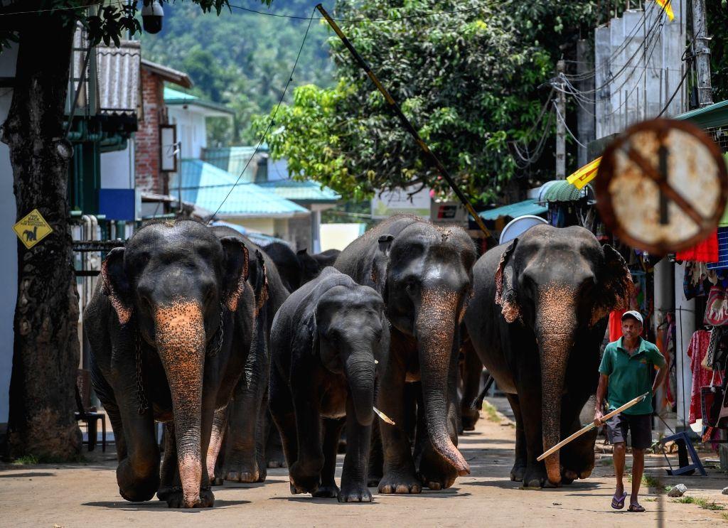 COLOMBO, May 12, 2019 - Elephants walk back to Pinnawala Elephant Orphanage after a bath in Pinnawala, Sri Lanka, April 11, 2019.