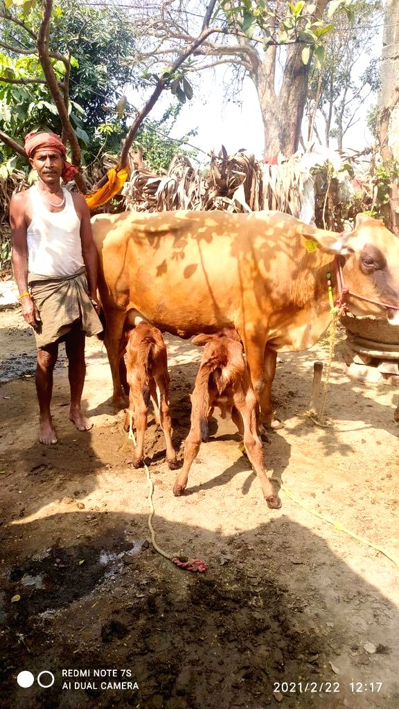 Cow gave birth to 2 heifer together